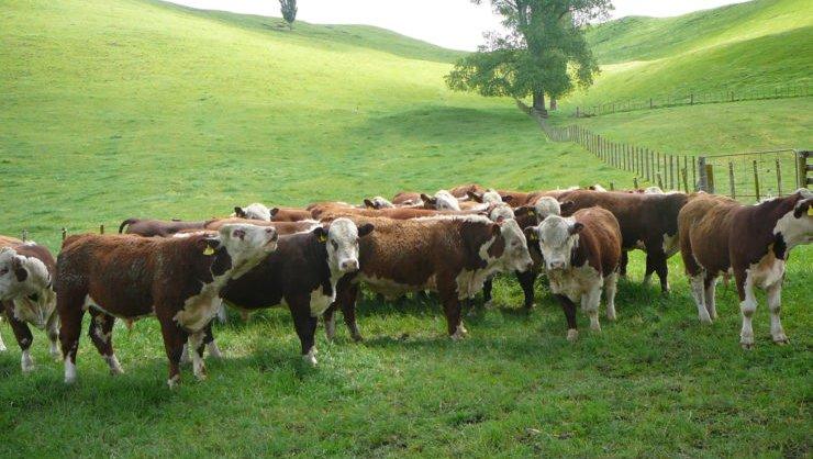 Herefords-Cattle-Farm.jpg