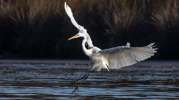 Heron landing2.jpg