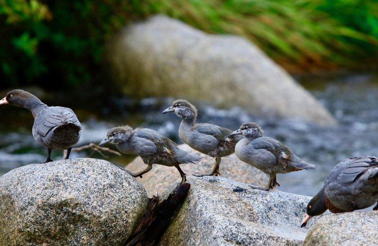 Oparara Ducks