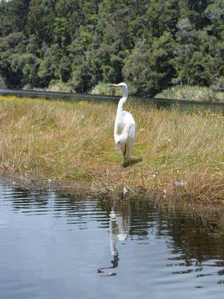 Friendly and rare white herons