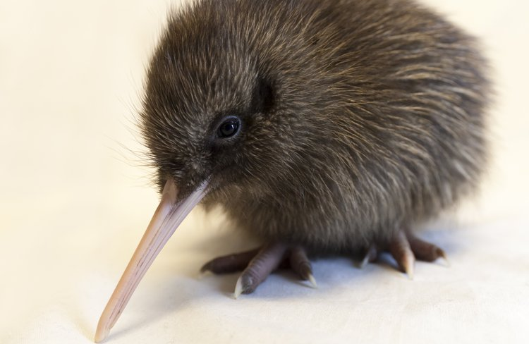 Come and meet Swifty and sponsor a Kiwi chick - make a difference for future generations !