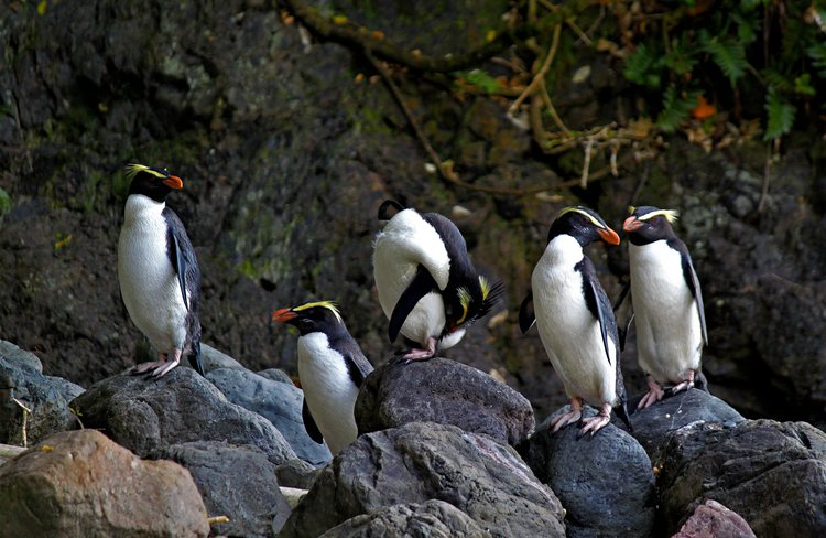 One of New Zealand's great wildlife experiences is watching penguins on wilderness beaches.
